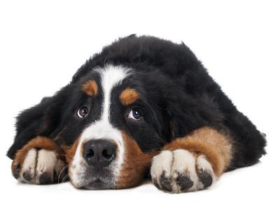 Berner Sennenhund on a white background in the studio, sad dog